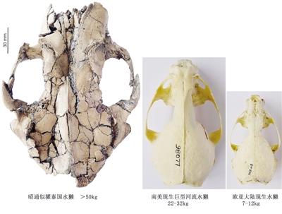 """""""似獾泰国水獭""""化石和现生水獭骨骼对比"""
