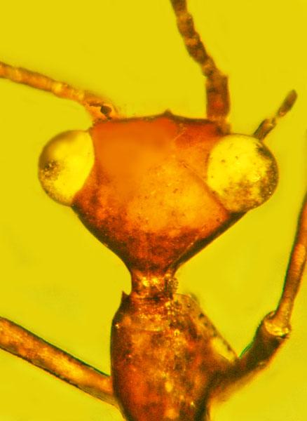 这种古老的昆虫长着三角形的头部和鼓起的眼睛
