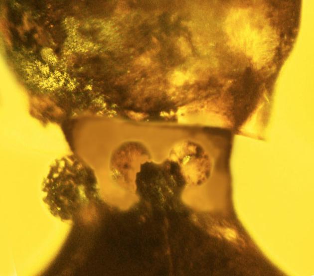 在它们的颈部还有一对腺体,可能会产生某些化学物质,用于驱赶掠食者。