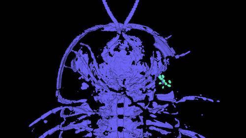 化石证据显示,一种三叶虫的生殖器出现在头部。图片来源:Thomas Henna
