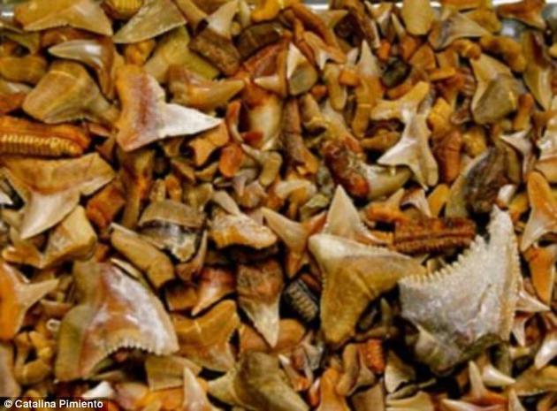 一项新研究称,200多万年前,地球上三分之一的大型海洋动物――包括大型鲨鱼、鲸类和海龟等――都在一场灭绝事件中消失。