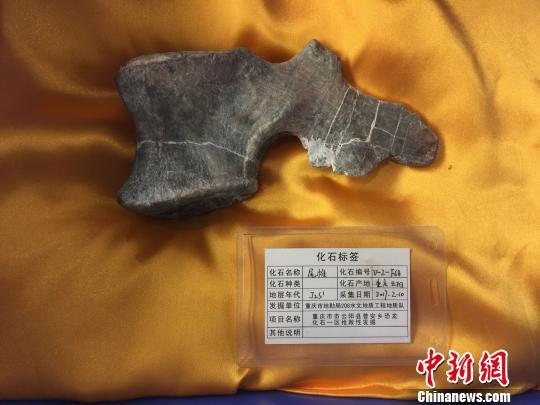 发掘的恐龙尾椎化石。 刘相琳 摄