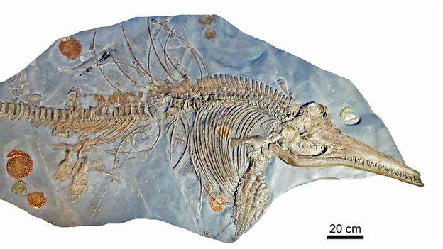 Ichthyosaurus somersetensis化石的整体骨架