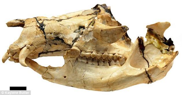 长獠牙的袋鼠:存续时间比原先估计的多500万年