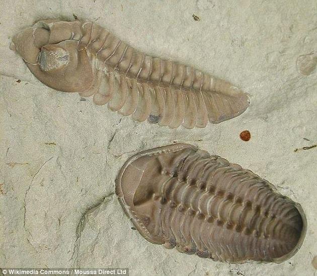 学名为Kainops invius的三叶虫化石,分别是呈现出侧面(上)和背面(下)。