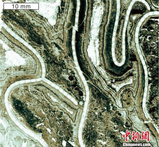 中外科学家在鄂尔多斯盆地南缘发现最早镣珊瑚化石