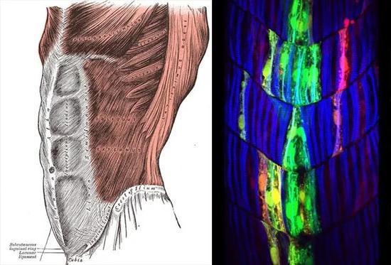 人类腹直肌与斑马鱼的分节肌肉