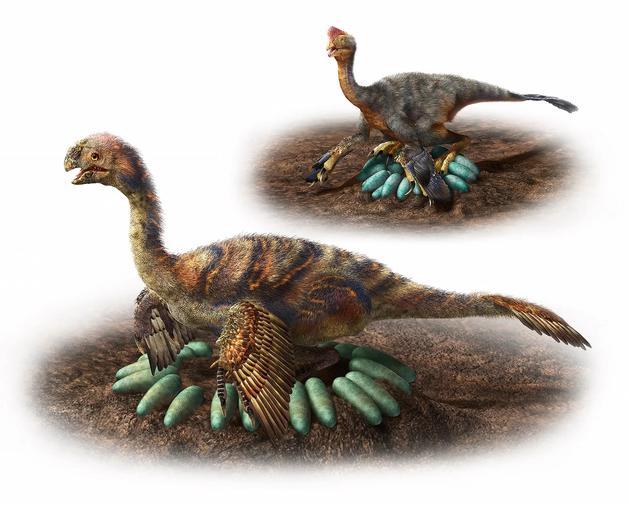 图中是普通体型(顶部)和大型窃蛋龙(底部)蛋巢,小型恐龙直接坐在恐龙蛋上,而大型恐龙则是坐在蛋巢中心,其蛋巢中的恐龙蛋排列在距离中心较远的位置,这样不会压碎恐龙蛋,并起到对恐龙蛋保护的作用。