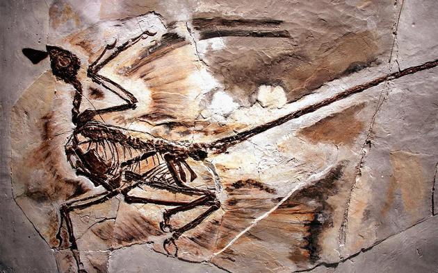 图中是四翼小盗龙骨骼化石,目前科学家在这种乌鸦大小的恐龙骨骼样本中发现世界上最早的皮屑化石。